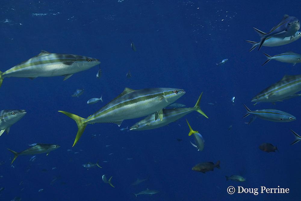rainbow runners, rainbow yellowtail or Hawaiian salmon, Elagatis bipinnulata, Shark Reef, Viti Levu, Fiji, South Pacific