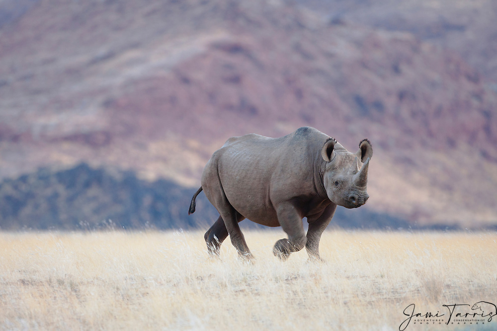 An endangered desert-adapted black rhino or hook-lipped rhinoceros (Diceros bicornis) moves across the gravel plains of the Skeleton Coast, Skeleton Coast, Namibia, Africa