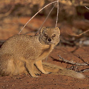 Yellow Mongoose, (Cynictis penicillata) Sitting in red Kalahari sand near bush cover. Kalahari Desert. Africa.