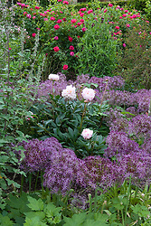 Allium cristophii syn. A. christophii with peony in the borders at Sissinghurst Castle Garden