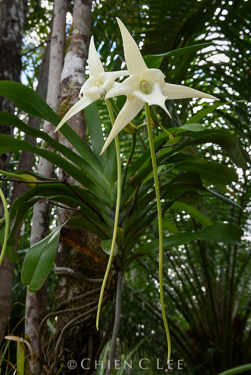 Darwin's Orchid (Angraecum sesquipedale). Canal des Pangalanes, Madagascar.