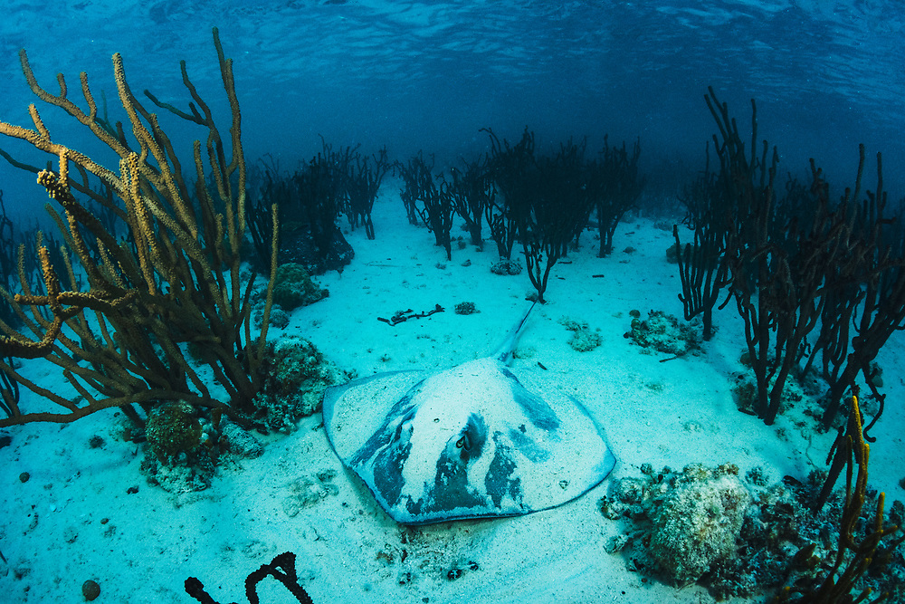 Southern stingray (Dasyatis americana) resting in the sand between corals. Image made off Eleuthera, Bahamas.