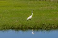 Great Egret, <br /> Noyack Bay, Sag Harbor, NY