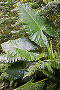Giant Elephant Ear plant growing in the  Daintree World Heritage Rainforest, Australia