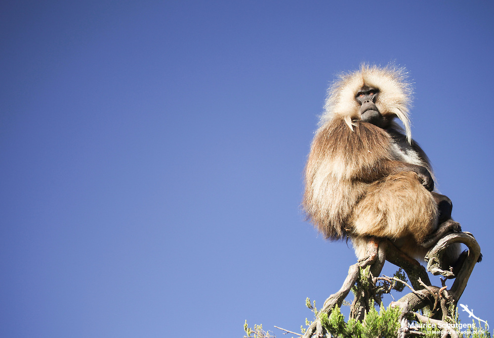 A Gelada Baboon scans the horizon in the Simien Mountains National Park, Ethiopia.