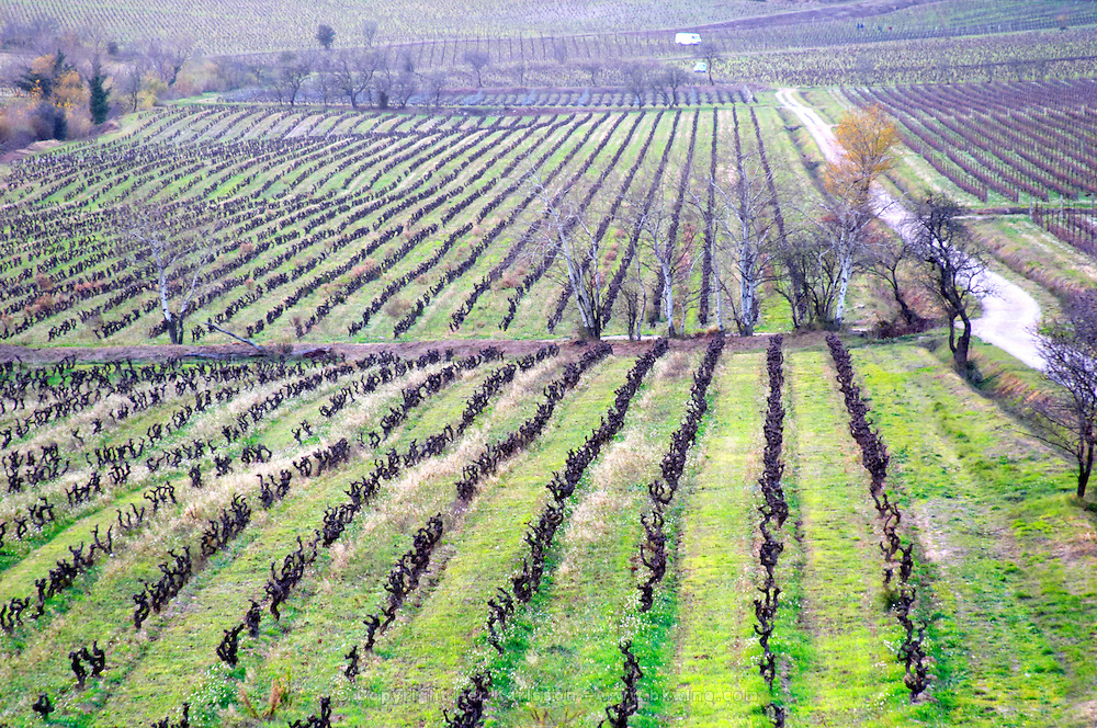 Chateau Pech-Latt. Near Ribaute. Les Corbieres. Languedoc. Vines trained in Gobelet pruning. France. Europe. Vineyard.
