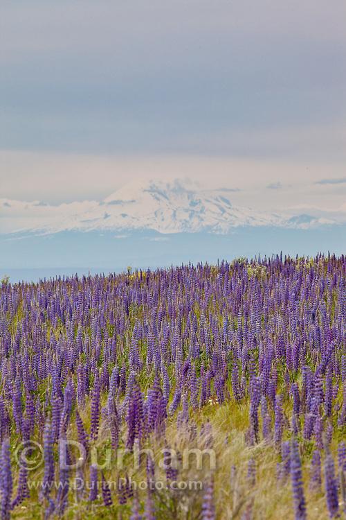 Velvet lupine (Lupinus leucophyllus) growing in prairie habitat near Condon, Oregon. Mount Hood is visible in the background.