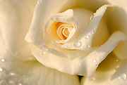Close up of a beautiful and perfect white rose