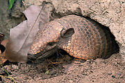 Yellow or Six-banded Armadillo<br />