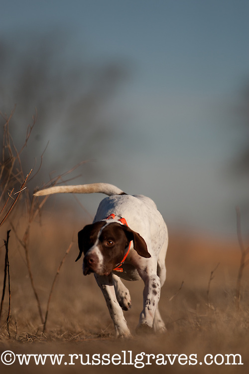 ENGLISH POINTER WORKING THE EDGE OF A GRASS FIELD SEARCHING FOR THE SCENT OF QUAIL