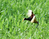 Northern Jacana (Jacana spinosa). Semester at Sea Field Trip. Limon, Costa Rica. Image taken with a Nikon D3s camera and 70-300 mm VR lens