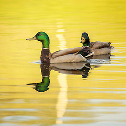 Two Mallard Ducks Swim In The Water