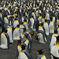 King Penguins stand in a rookery at Gold Harbor, South Georgia, Antarctica.