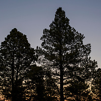Evergreen trees are silhouetted against the evening sky in McGaffey Thursday.