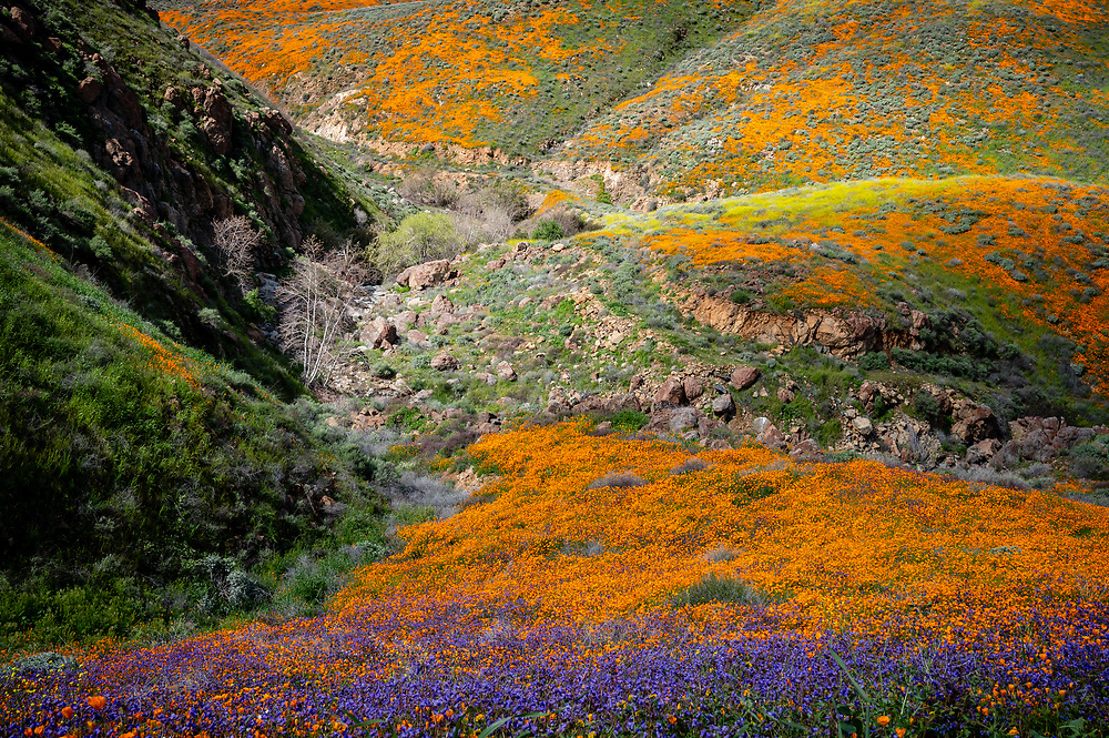 View looking down into a valley of California poppies, bluebells and mustardweed.