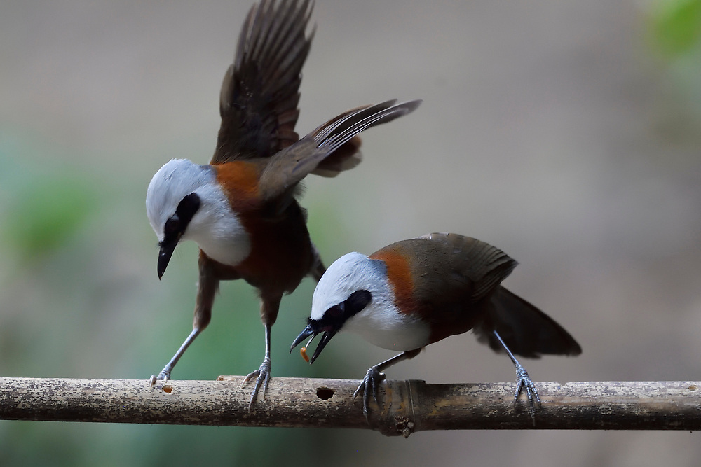 Two White-crested Laughingthrush, Garrulax leucolophus, sitting ona branch and feeding on insects in Hong Bung He, Dehong, Yunnan, China