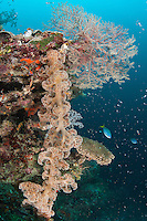 Soft Corals on Reef Wall<br /> <br /> Shot in Indonesia