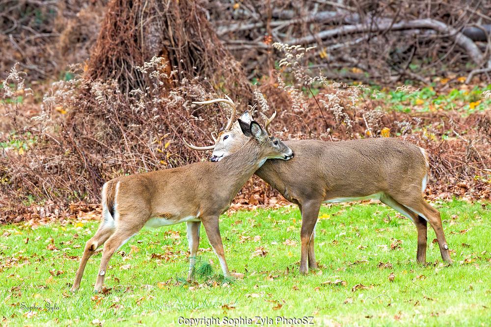 Deer hugs, male deer, bucks grooming