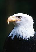 Alaska . Homer . Bald Eagle (Haliaeetus leucocephalus) portrait.