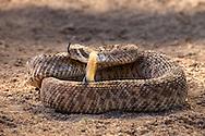 Diamondback rattlesnake, Arizona