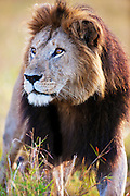The African lion ( Leo Panthera ) lives in prides consisting of two to twelve related females and their young, and dominant males. Males may form a coalition of two to six, and hold tenure over the prides until challenged. Large males may exceed 250kg ( 550 lbs) in weight and are the second-largest living cat after the tiger,  Masai Mara, Kenya