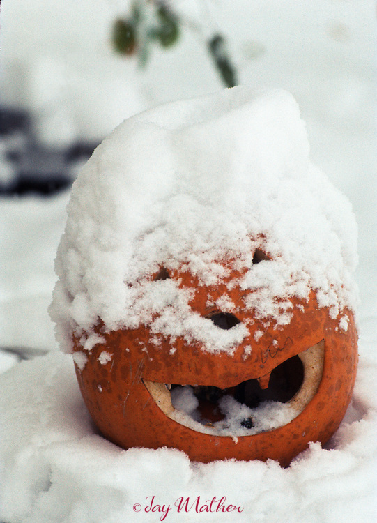 Snow covered pumpkin.