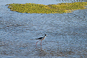A Black-necked stilt (Himantopus mexicanus) in the Los Angeles River. Sepulveda Basin Recreation Area, Los Angeles, California, USA