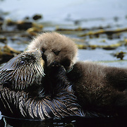 Sea Otter mother cuddles her baby in a kelp bed in southwest Alaska.
