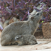 Yellow-spotted rock hyrax, mother with babies, Masai Mara National Reserve, Kenya.