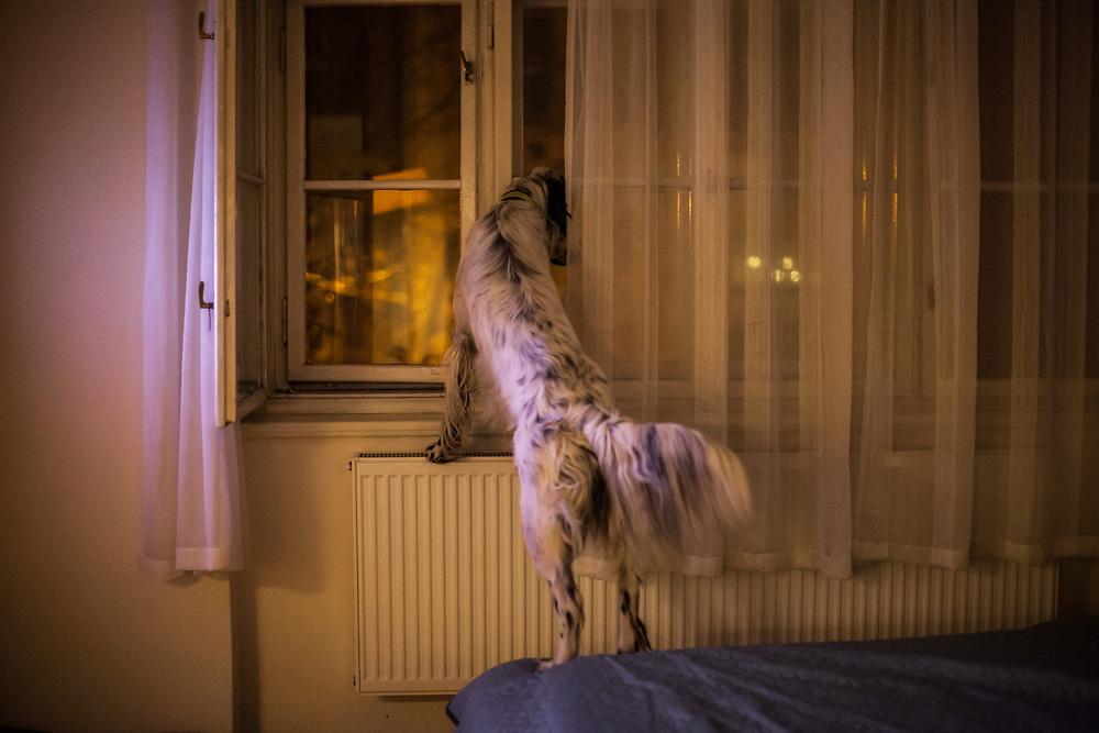 "English Setter ""Rudy"" schaut am 10.01. 2019 aus dem Fenster in Prag Zizkov.  Rudy wurde Anfang Januar 2017 geboren."