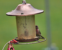 House Finch. Image taken with a Leica SL2 camera and Sigma 100-400 mm lens