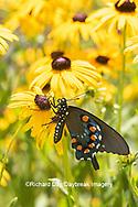 03004-01608 Pipevine Swallowtail (Battus philenor) on Black-eyed Susans (Rudbeckia hirta) Marion Co. IL
