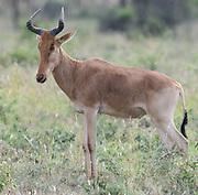 A male Coke's hartebeest (Alcelaphus buselaphus cokii) or kongoni. Serengeti National Park, Tanzania.