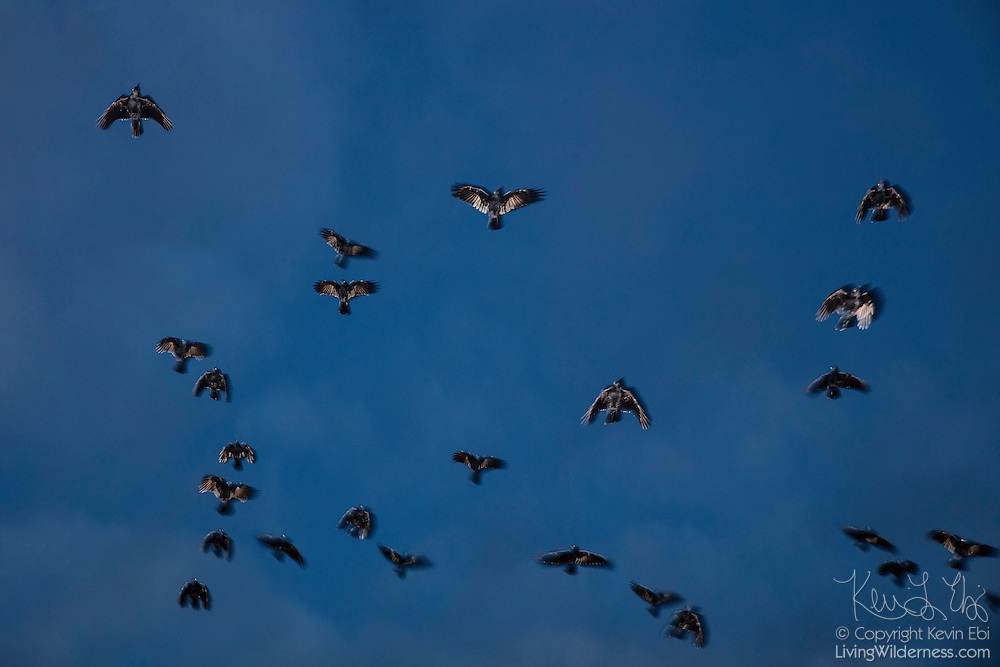 A large flock of American crows (Corvus brachyrhynchos), known as a murder, circles against the night sky as the birds look for a place to roost in Bothell, Washington. An estimated 10,000 crows roost in a small area in the city each night.