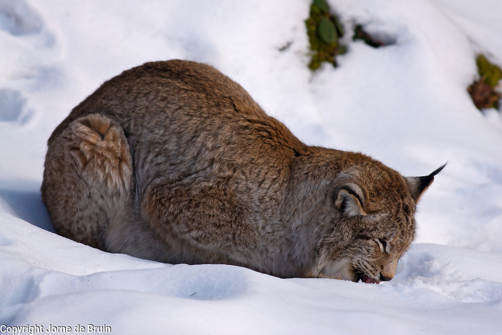 A male European Lynx is licking up snow in a snowy forest in the wildlife park of the Bavarian Forest National Park