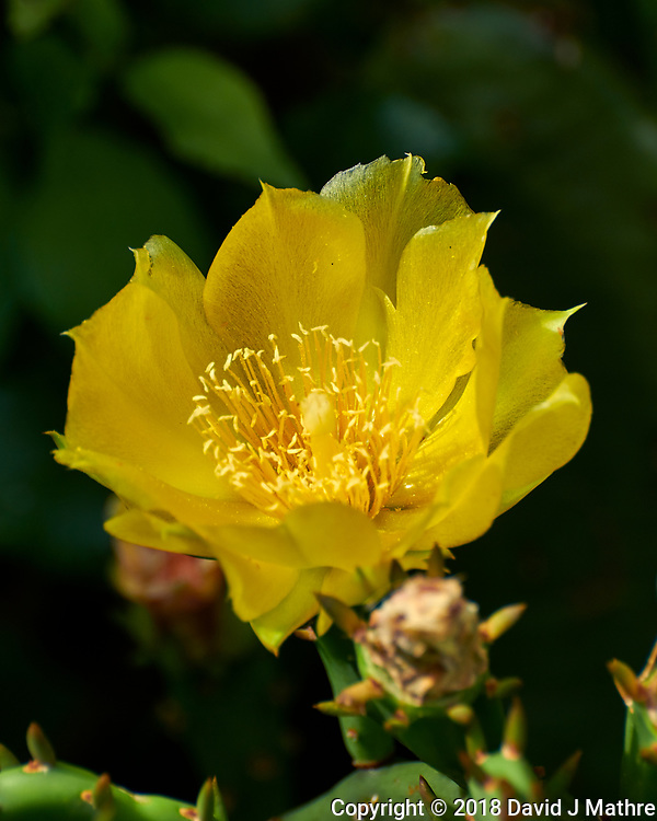 Yellow Prickly Pear Flower. Image taken with a Nikon D850 camera and 70-300 mm VR lens.