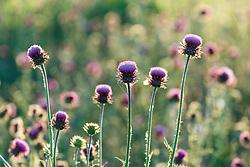 Purple thistle, Great Trinity Forest, Dallas, Texas, USA