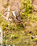 Pardosa palustris - female with egg sac. A common wolf spider found hunting on the ground in arable fields and other more natural, open, grassy habitats.