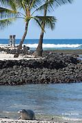 Hawaiian monk seal, Monachus schauinslandi ( Critically Endangered ), 2.5 year old male coming ashore on beach at Pu'uhonua o Honaunau ( City of Refuge ) National Historical Park, Kona, Hawaii ( the Big Island ) U.S.A.