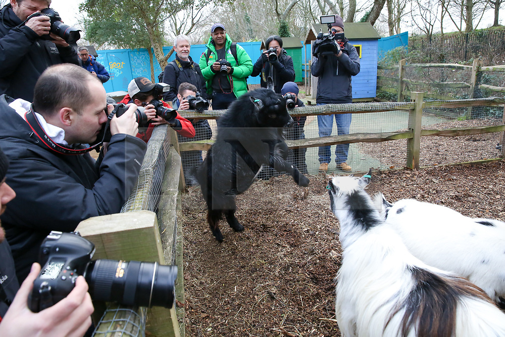 © Licensed to London News Pictures. 03/01/2019. London, UK. Photographers take photographs of the Pygmy Goats during the annual stocktake at London Zoo. London Zoo undertakes its annual stocktaking which is carried out at the the start of each year. Every animal in London Zoo is weighed and measured and the statistics is shared with other Zoos across the world.  Photo credit: Dinendra Haria/LNP