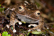 Madagascar Bright Eyed Frog, Boophis madagascariensis, close up showing face, Ranomafana National Park, Madagascar, Least Concern on the IUCN Red List
