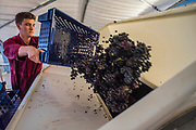 The harvested grapes are thrown into the crusher - Seasonal workers from Romania start picking the Pinot Noir grapes at the Redfold Vineyard which produces English Sparkling wine in East Sussex.