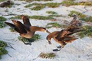 black-footed albatross, Phoebastria nigripes (formerly Diomedea nigripes), courtship dance, Sand Island, Midway Atoll, Midway National Wildlife Refuge, Papahanaumokuakea Marine National Monument, Northwest Hawaiian Islands, USA ( North Pacific Ocean )