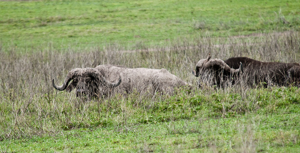 The Buffalo - Mbogo