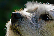 Border Terrier dog sniffing the air, England
