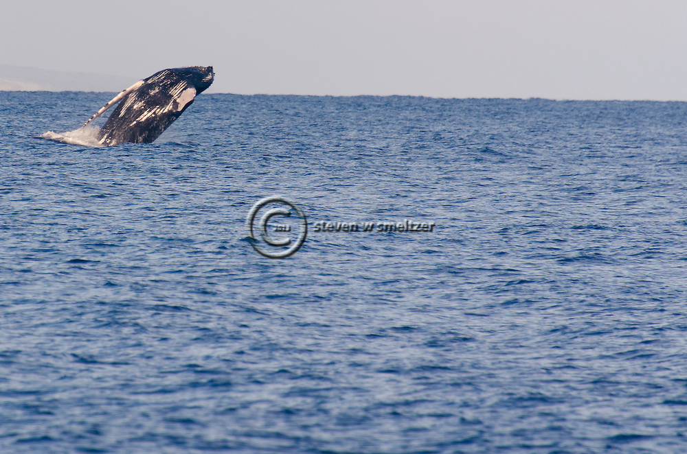 Humpback Whale Breaching 5 of 9, Maui Hawaii
