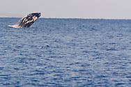 Humpback Whale Breaching 5 of 9, Maui Hawaii