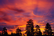 Silhouetted pines at sunrise, Coral Pink Sand Dunes State Park, Utah USA
