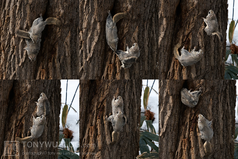 This series of six images shows a pair of Japanese dwarf flying squirrels (Pteromys volans orii) that have just emerged from a nest in the tree. The male pursues the female; the pair copulate; and the female returns to the nest. Over the course of a day or so, the male copulates as many times as possible. Rival males sometimes approach, which can result in a heated battle between males.