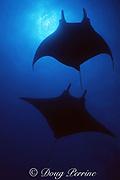 manta rays, Mobula birostris (formerly Manta birostris ), at The Boiler, San Benedicto, Revillagigedo National Park, Revillagigedos ( Socorro ) Islands, Mexico ( Eastern Pacific Ocean )